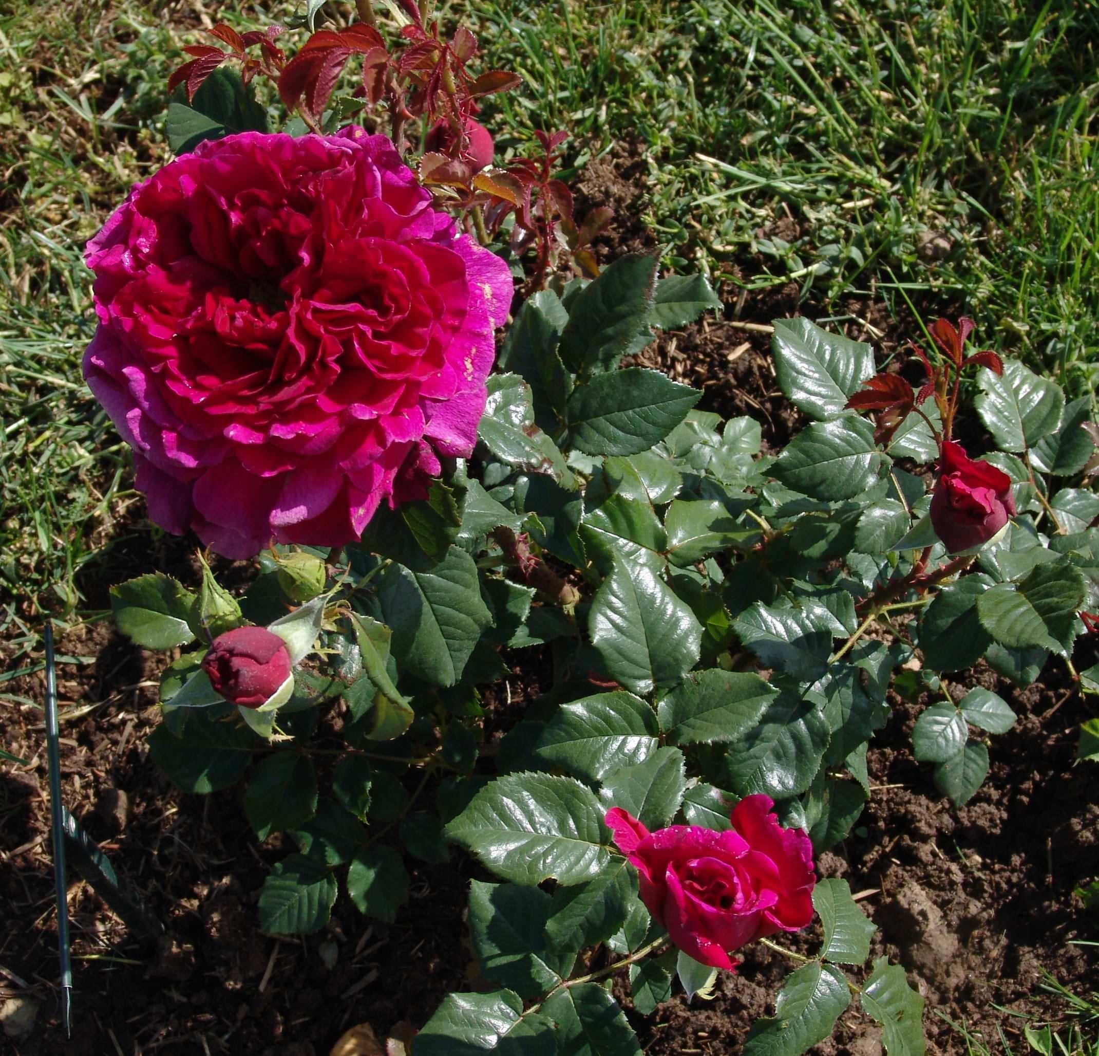 Когда сажать английские розы
