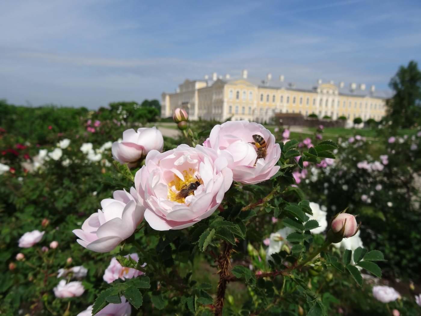 Maijrožu, krokoto un Latvijas selekcionāru rožu ziedēšana /24.05.2016./