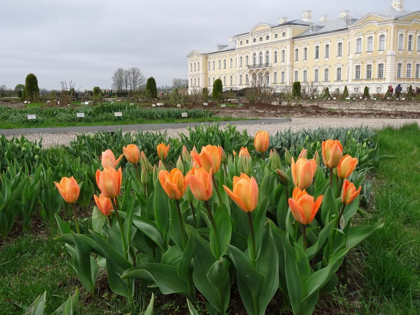Pavasaris, tulpju ziedēšanas sākums /30.04.2015./