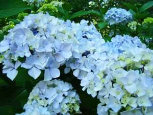 "Hortenzija ""Pastel Blue"""